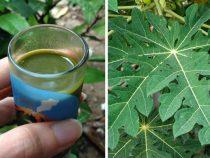 Two methods Use Papaya Leaf Juice for Dengue Fever