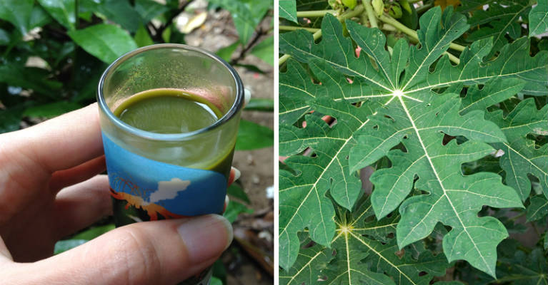 Image result for Ways to use papaya leaves to combat dengue fever
