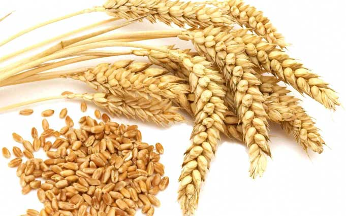 Health Benefits of Wheat grains