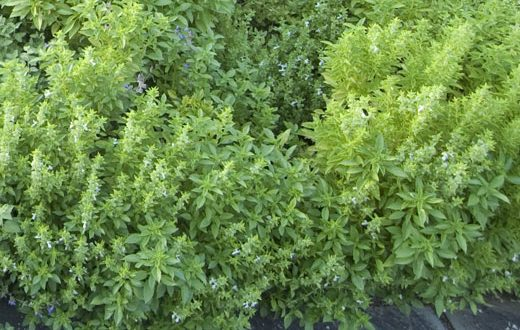 Amazing Health Benefits of Thyme shrub